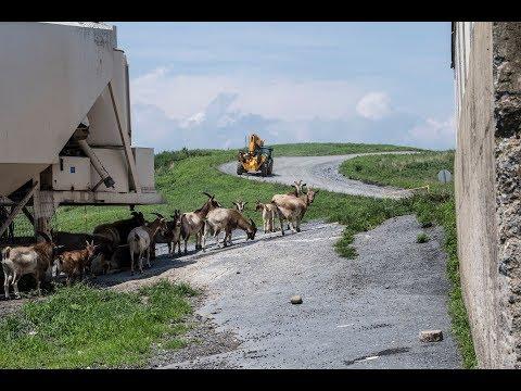Landfill Livestock