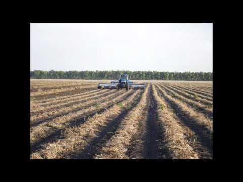 Kidney Bean Harvest 2011