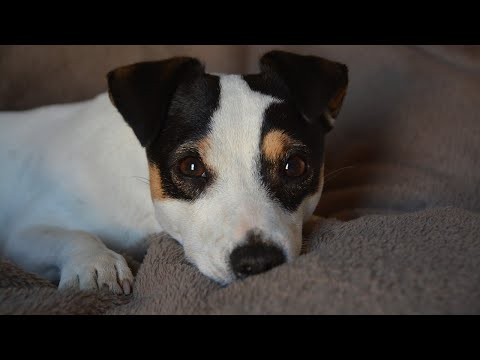 Amazing Facts on Jack Russell Terrier | In Hindi | Dog Facts | Animal Channel Hindi