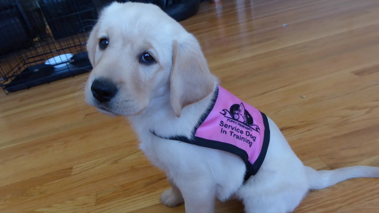 Watch Weeks Old Service Puppies Learn To Open Doors Get Mail And