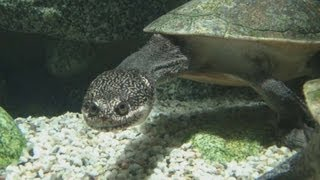 [HD] Roti Island snake-necked turtle / McCords Schlangenhalsschildkröte @ Aquazoo [51/52]