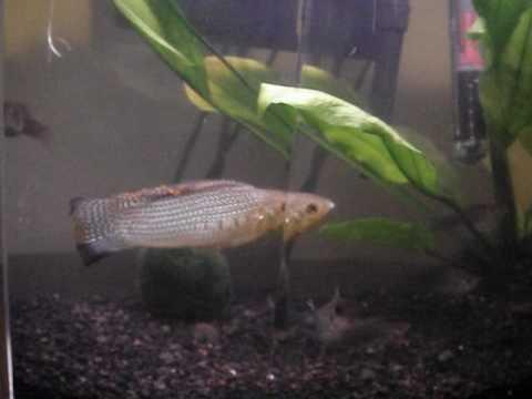 Sailfin Molly Fish Mating Display