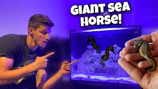 GIANT SEA HORSES For The AQUARIUM!!