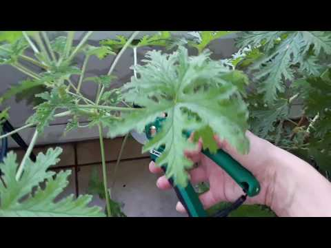 How to easily propagate & grow a Citronella (Mosquito) plant