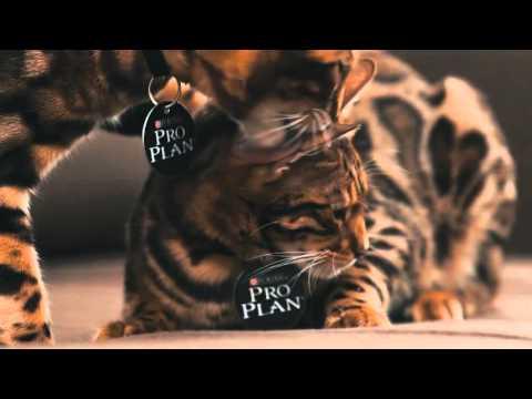 Бенгальская кошка   все о породе кошек – Purina Pro Plan Ukraine