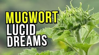 MUGWORT Benefits For Lucid Dreaming: REVIEW And Warnings