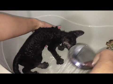 Купание красного коня ( первое купание кота) . Как правильно мыть кошек.