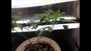 Ep. 2 Day 14 Of Flower | Indoor Cfl Cannabis Grow Cabinet Experiment Closet