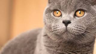 British Shorthair  Cat Breed  Pet Friend