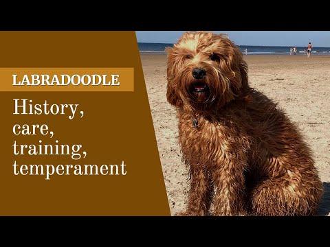 Labradoodle - The Designer cross breed of Labrador & Poodle