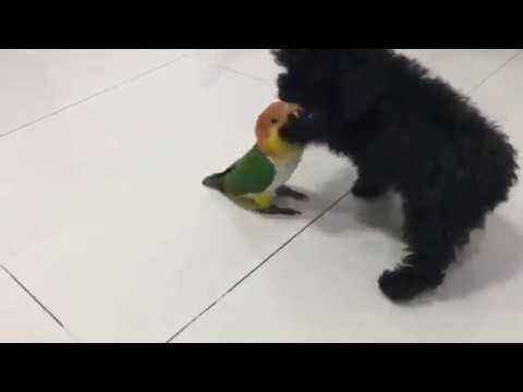 Friendship between my toy poodle and white bellied caique ( dog and parrot). @andy_hoo_brankass