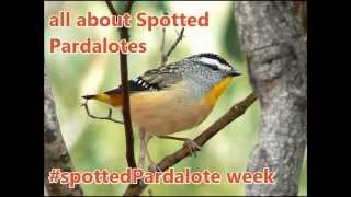 All about Spotted Pardalotes - big voice, tiny bird!
