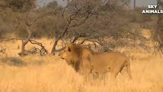 Too Brave! Powerful Hero Buffalo Come To Rescue Poor Zebra Escape Lions