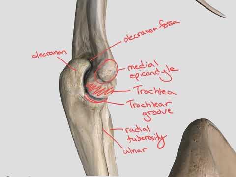 Elbow, wrist, hand bones