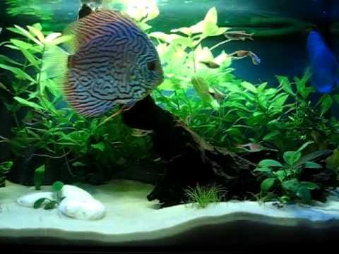 Acuario arena blanca s lice peces disco avi youtube for Peces de acuario