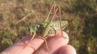 Насекомое Кузнечик серый Insect Grasshopper Grey species Wart-biter