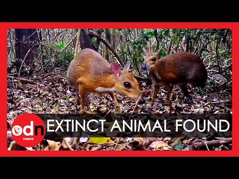 'Extinct' Mouse Deer