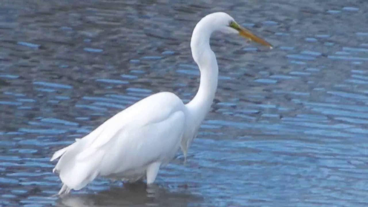 Great egret fishing at benicia marina youtube for Benicia fishing report