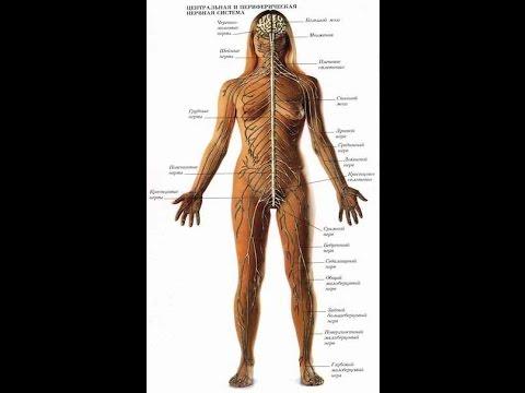 Презентация на тему Значение нервной системы (8 класс