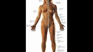Соматический и вегетативный отделы. Урок биологии.