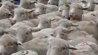 Moutons et chèvres au départ de la transhumance à Saint Martin de Crau.