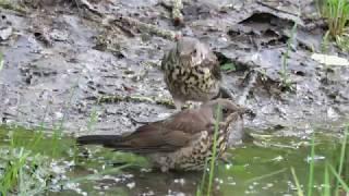 Мир птиц. Купание дроздов. Птицы Москвы