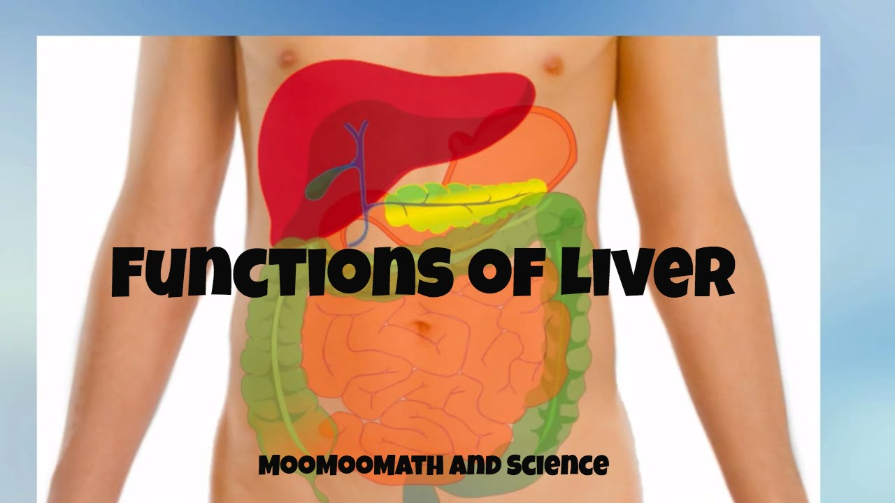 Main Functions Of The Liver Why The Liver Is Important Youtube