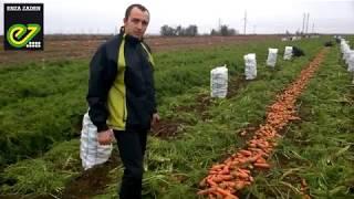 Морковь Проминанс F1 - Takii. Обзор