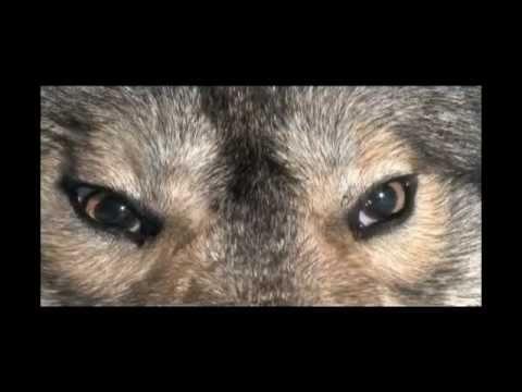 Ontario Wolf Hunt, Relentless Pursuit