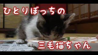 子猫を拾ってみた ご飯に夢中になる側溝の中で鳴いていた三毛猫ちゃん I also got a kitten. thumbnail