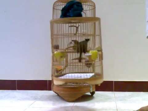 chào mào mồi hay.3gp -Kênh về chim Chào mào của Triệu Triệu