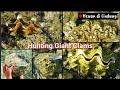 Survival Skils; Berburu Kerang Laut, banyak KIMA RAKSASA Giant Clams Hewan diLindungi