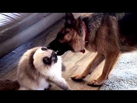 Ragdoll Cat vs Dog Fighting. Talking Ragdoll  - Fiasco Friends Indi and Oscar