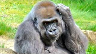 Ethiopian Animatio - Tizita by Gorilla just for fun