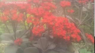 20170212_103745 cây lá bỏng có tác dụng làm thuốc, chữa bỏng làm cảnh