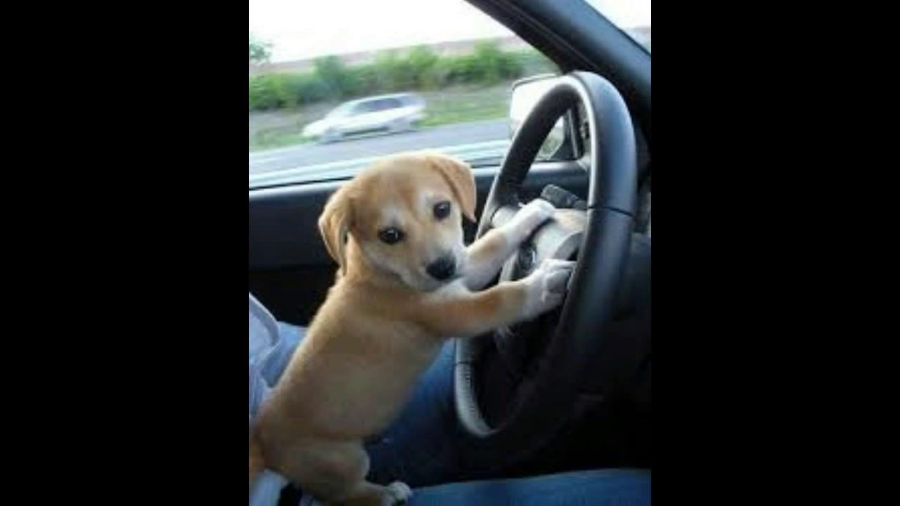 Spanish Mastiff Puppy Puppies For Sale Mastif Madison Wi Milwakee Wi