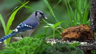 Beautiful Relaxing Nature - Birds, Flowers Nature Soothing Sounds of Water, Rain and Music.  in 4K