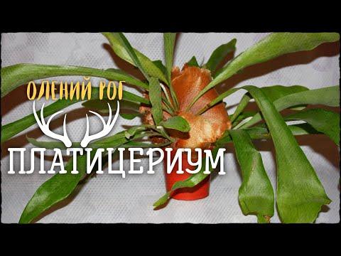 Платицериум. Растение похожее на Олений рог!! Фантастика