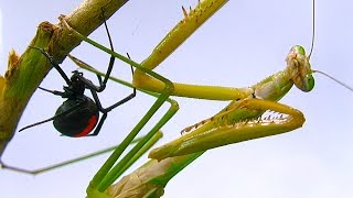 Giant Praying Mantis Found Redback Spider Vs Mantis Fight Preview Spider Study