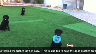 3 Labrador Retrievers Remote Sit At Once