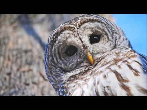 Barred Owl Call Ringtone | Ringtones for Android | Animal Ringtones