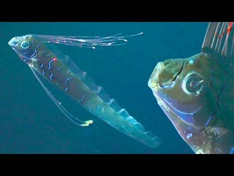GIANT OARFISH: REAL SEA SERPENTS