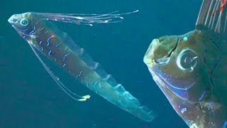 Repeat youtube video GIANT OARFISH: REAL SEA SERPENTS