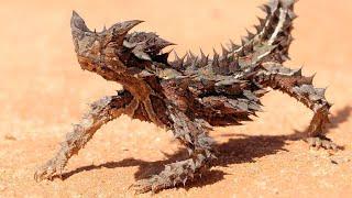 Птица-динозавр, ящерица стреляющая кровью и другие ребята ждут вас в Австралии! смотреть онлайн в хорошем качестве - VIDEOOO