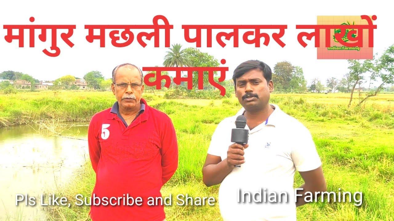 मांगुर मछली पालन की पूरी जानकारी खर्च से लेकर कमाई तक/ Mangur machhali palkar lakhon kamayen