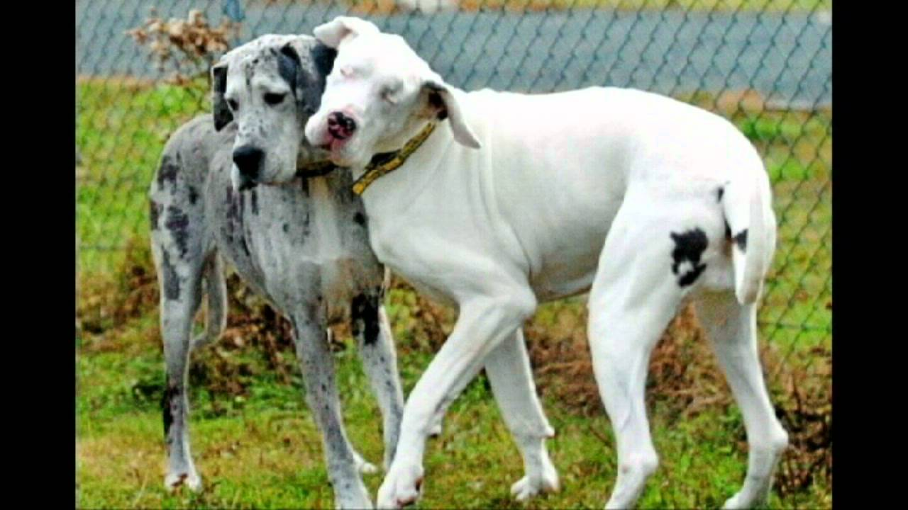 Friendship Two Great Danes YouTube
