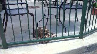 Honey Bee (Apis mellifera) Diaspora at Starbucks