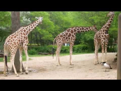 Goose fights off three giraffes