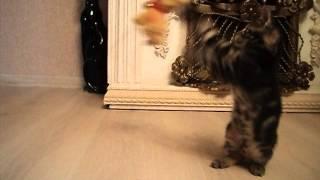 редкая порода кошек соукок