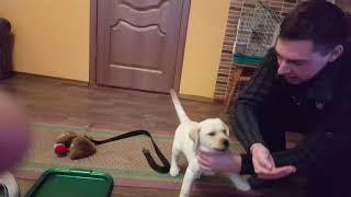 Как нужно кормить щенка!!! Лабрадор ретривер кормление щенка яблоком